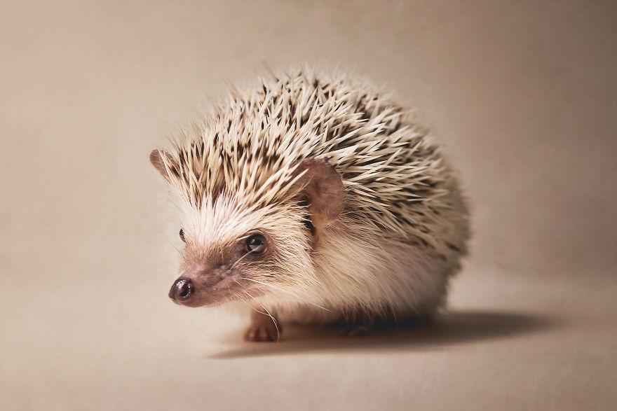 Hangry Haru The Hedgehog