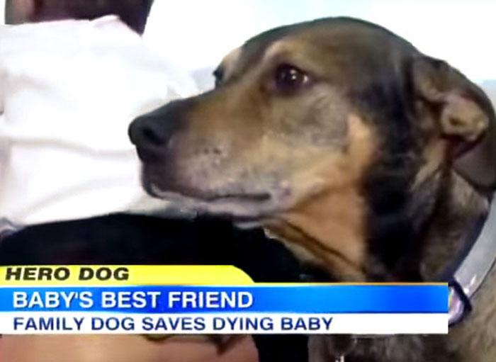 Duke se puso a salvar en la cama de sus dueños y se puso a temblar. Gracias a eso, fueron a comprobar cómo estaba su hija de 9 semanas y resulta que no respiraba. Si el perro no hubiera estado tan asustado, se habrían ido a dormir