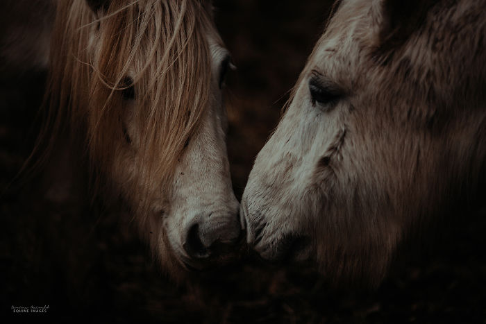 In Scotland I Met Mystical Highland Ponies Who Seemed Like Ghosts