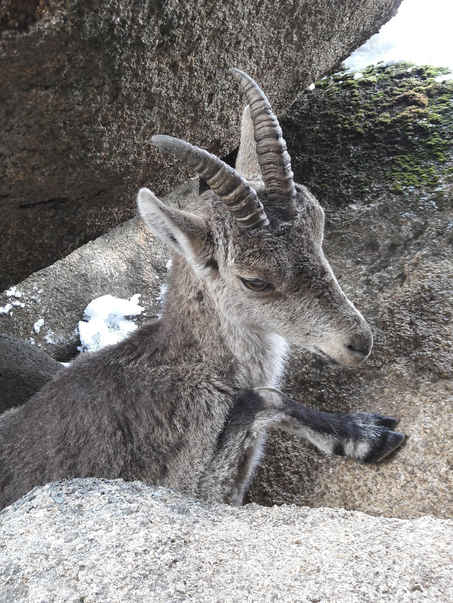 We Saved A Mountain Goat That Was Stuck Hanging In The Air By Its Horns