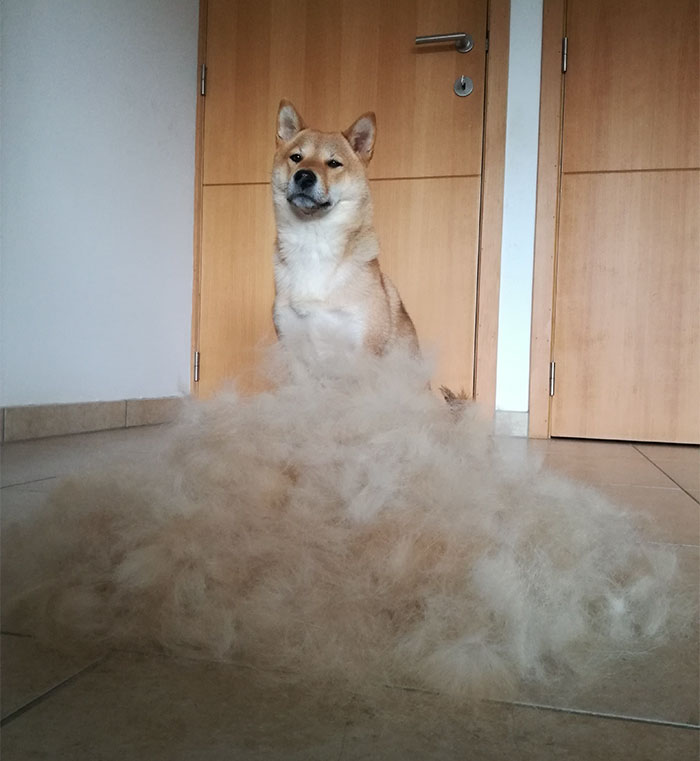Human Tried To Mock This Hairy Shiba Inu And His Reaction Is