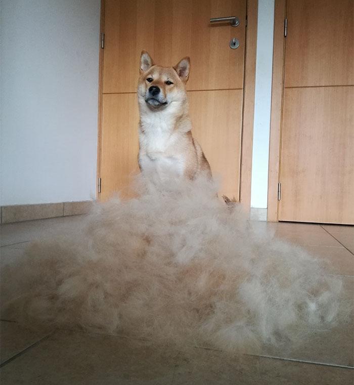dog-hair-wig-shiba-sumi-1