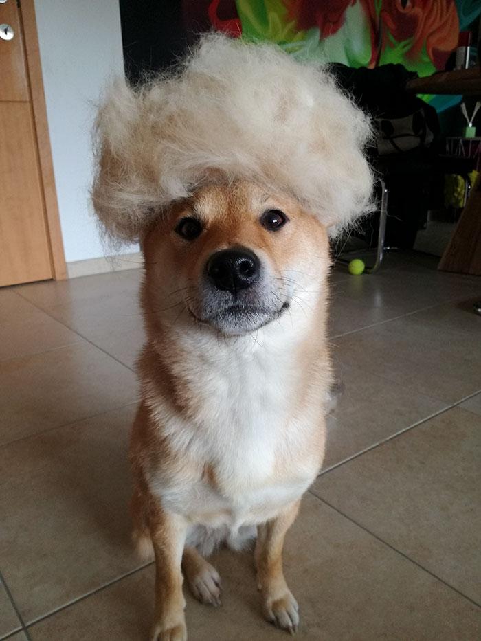 perro-pelo-peluca-shiba-sumi-2