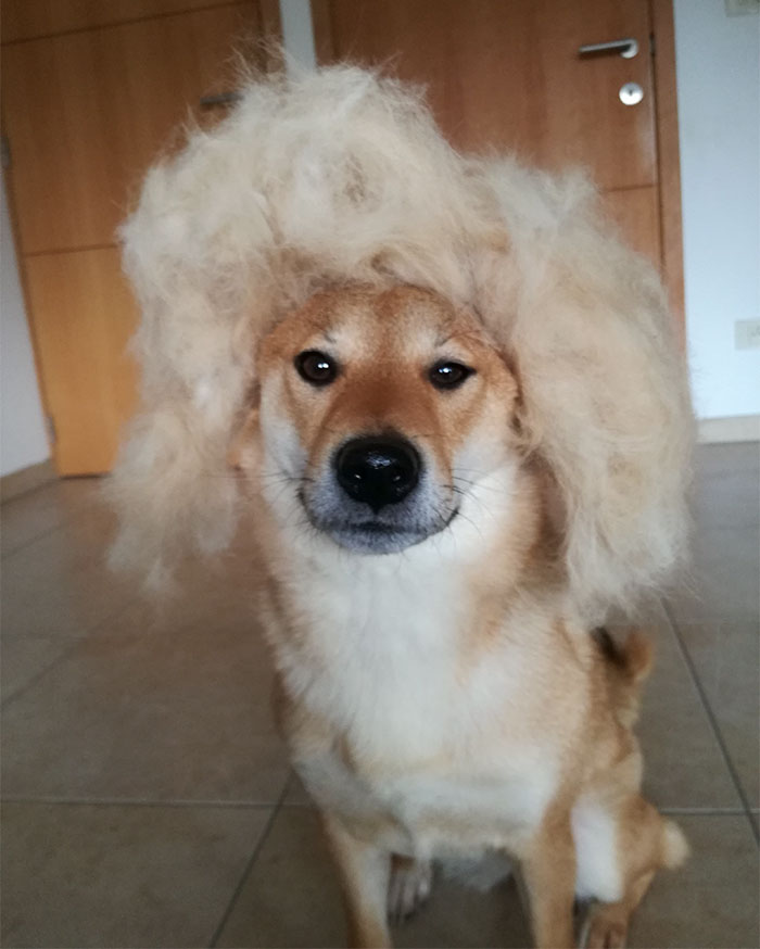 perro-pelo-peluca-shiba-sumi-3