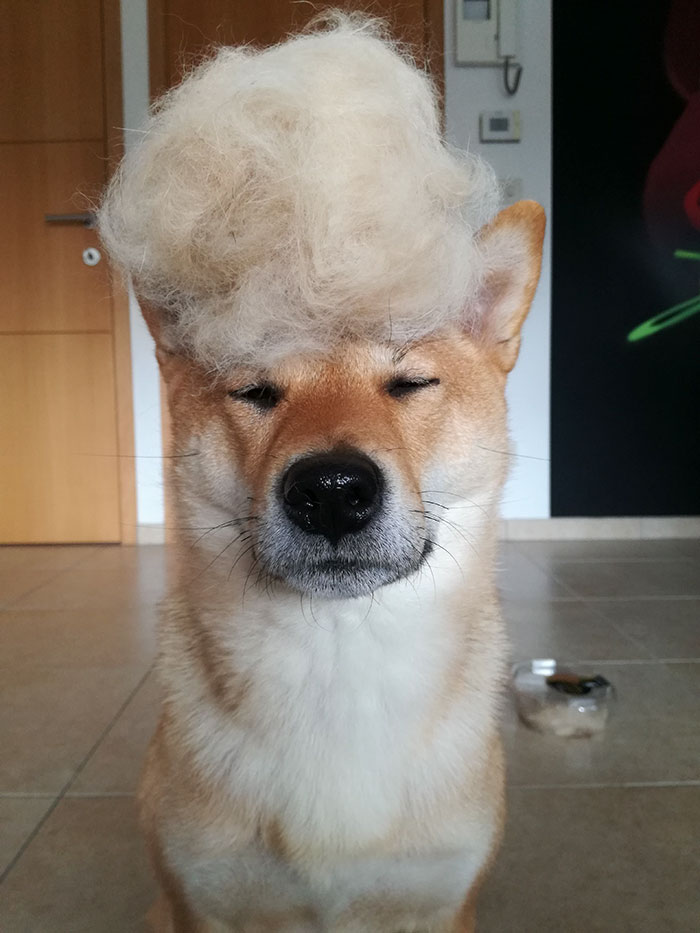 perro-pelo-peluca-shiba-sumi-4