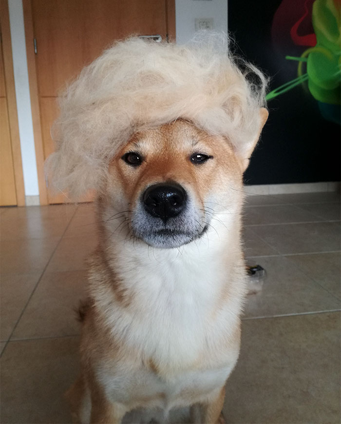 perro-pelo-peluca-shiba-sumi-5
