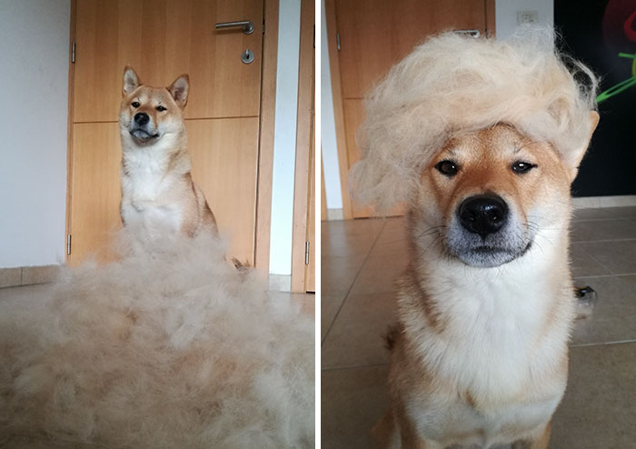 Human Puts His Dog In Wigs Made From Her Own Hair, And It's Hilarious How Its Face Changes With Every Pic