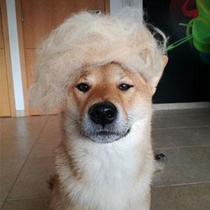 Este humano le pone pelucas a su perro hechas con su propio pelaje, y es divertidísimo ver cómo cambia su cara en cada foto