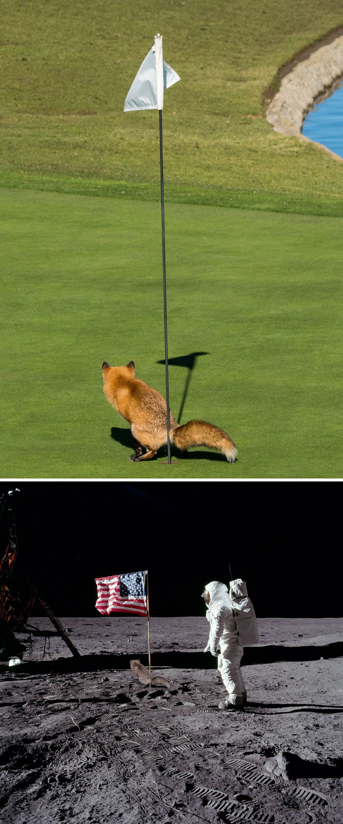 This Fox Pooing In A Golf Putting Hole