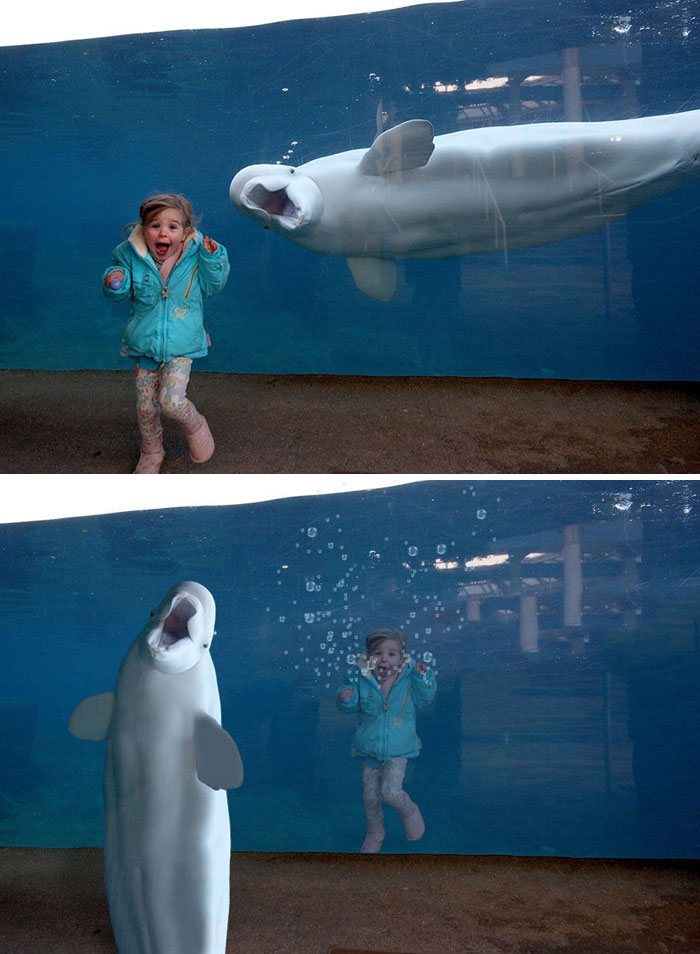 A Beluga Whale Surprising A Young Girl
