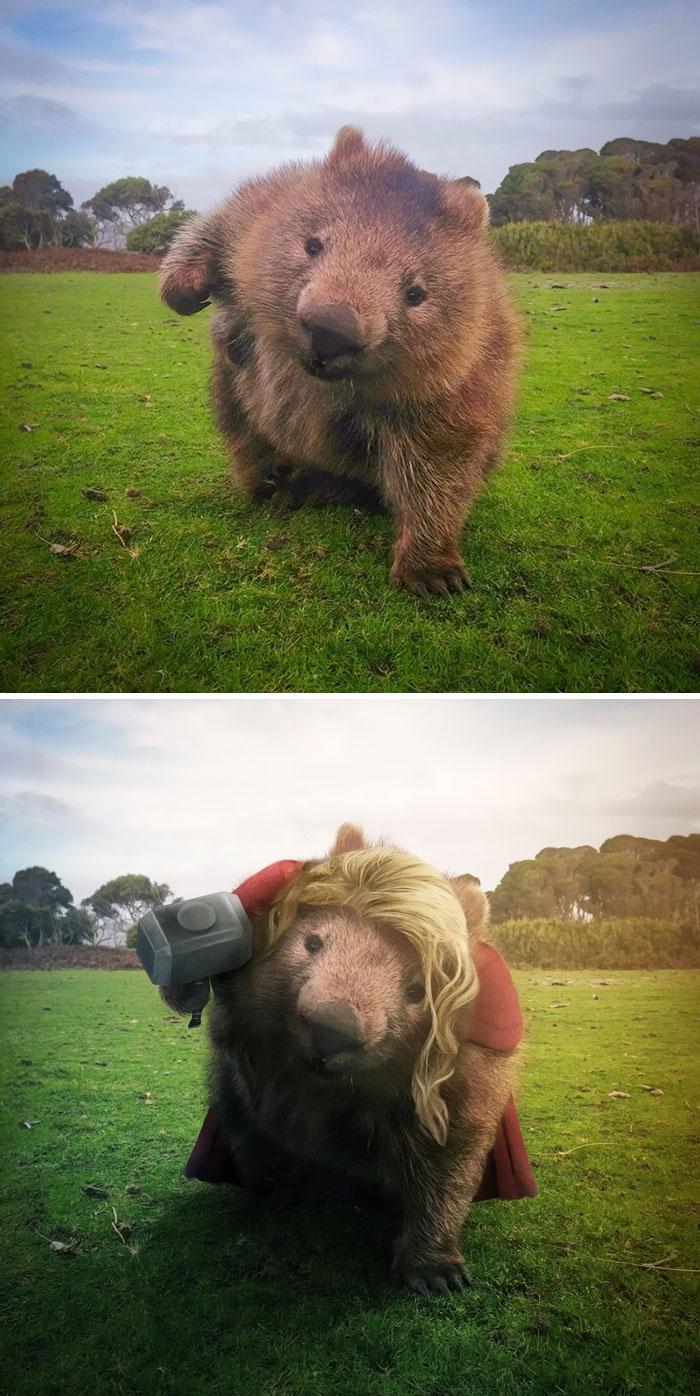 Wombat In A Field