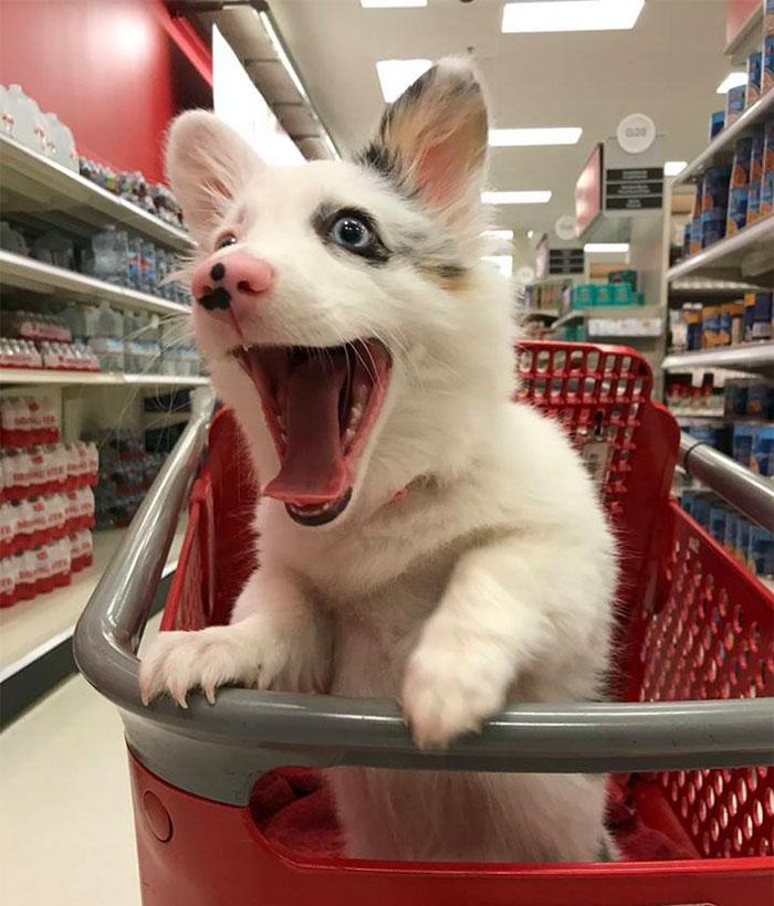 happy-dog-shopping-target-zira-the-corgi-virgoprincxss-2