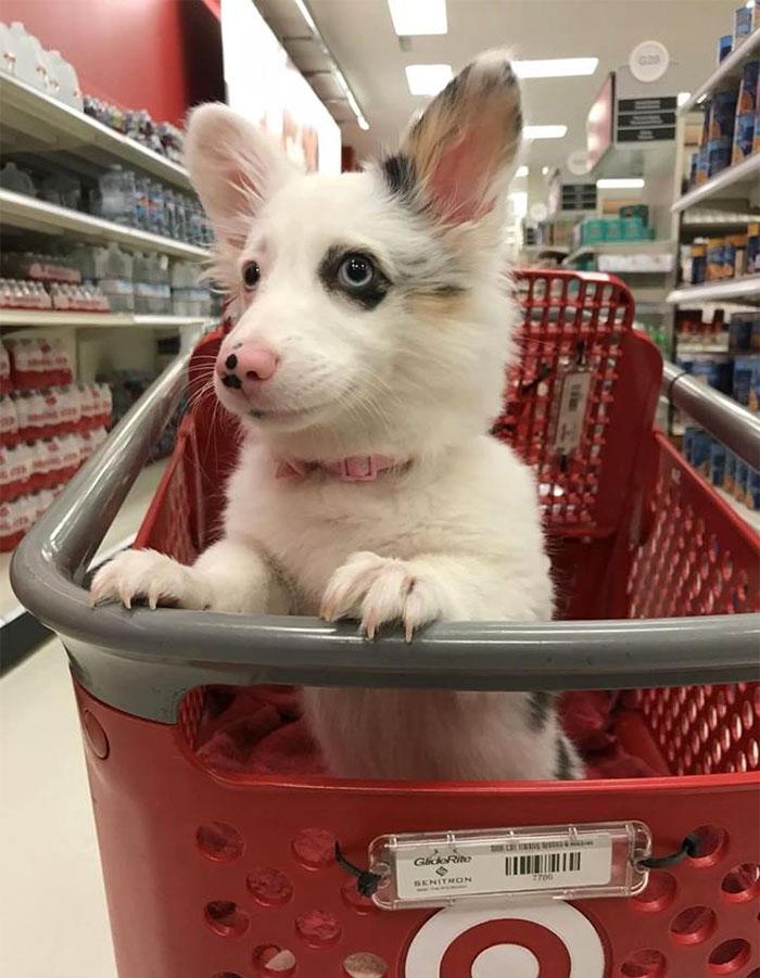 happy-dog-shopping-target-zira-the-corgi-virgoprincxss-3