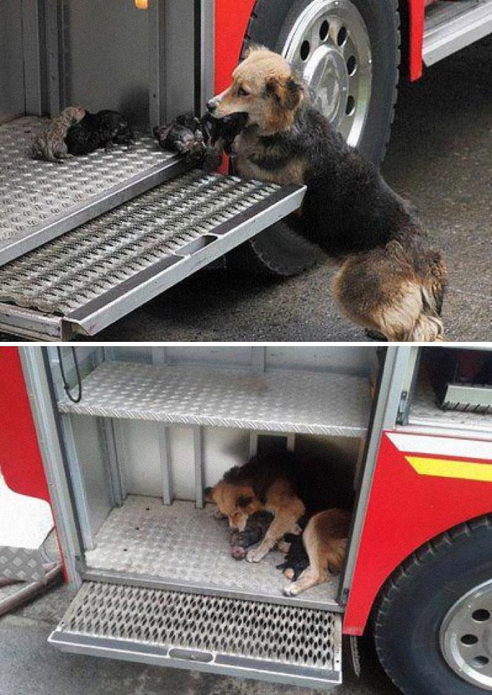 Esta mamá perro salvó a sus cachorros de un incendio y los puso en el camión de bomberos