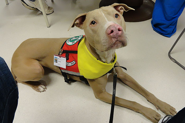 Peaches The Wonder Pit Started Out As A Rescue Dog Scheduled To Be Euthanized, But Was Rescued And Became Not Only A Therapy Dog Lending Emotional Support For People, Like Boston Marathon Bombing Witnesses, But Also American Pit Bull Foundation's Mascot