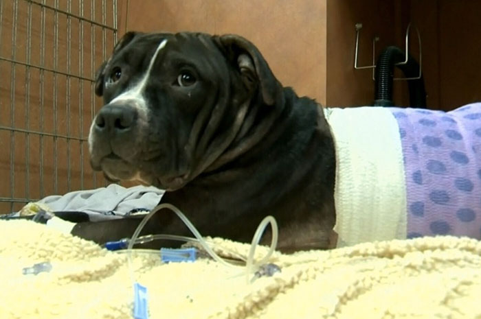 Mercey Protected His Owner From 4 Male Invaders After They Pushed Their Way Into The Apartment Of A 30-Year-Old Female Victim. The Dog Jumped To Protect Her Owner And Suffered Life Threatening Injuries In The Attack With A Machete