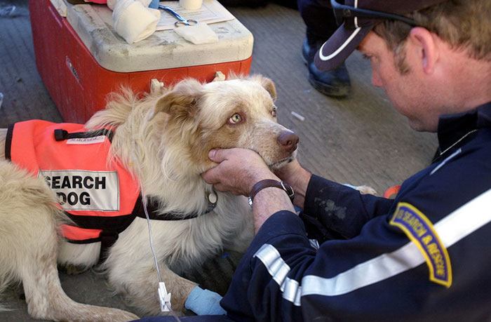 Erick Robertson Pets Porkchop, A One-Year-Old Search And Rescue Dog, As He Receives Fluids Intravenously To Treat Dehydration From Days Of Work At Ground Zero After 9/11 Attacks