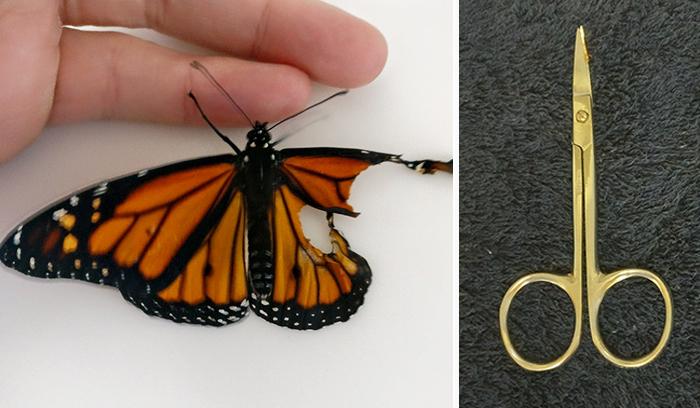 Una mujer opera a una mariposa monarca con un ala rota, y al día siguiente la sorprende de la mejor manera