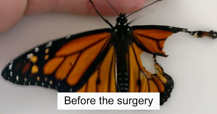 woman performs surgery on monarch butterfly with broken wing next