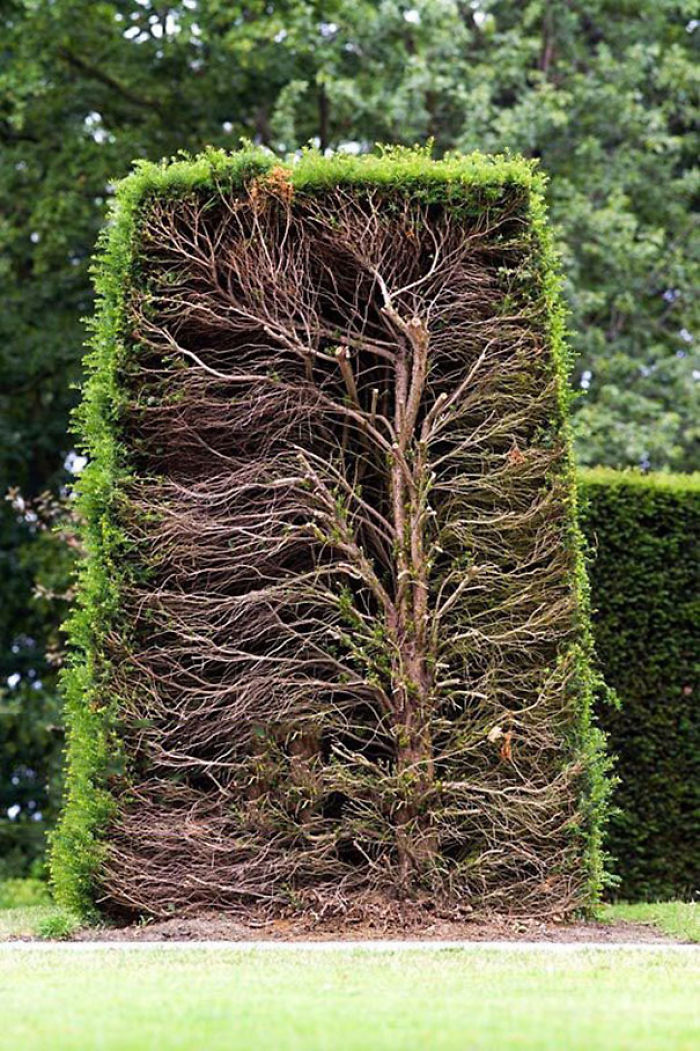 A Mature Hedge Cut In Half