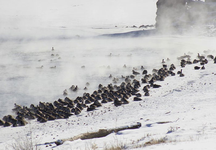 The Bitterly Cold Temperatures Have Reduced The Amount Of Open Water, Concentrating Waterfowl And Eagles Alike In Those Places Where Water Is Running