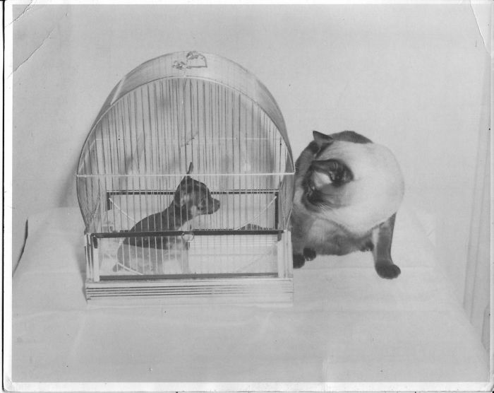 I Collect Vintage Siamese Cat Photos