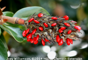 southern_magnolia_pod_with_20red_fruit2030020jw.jpg