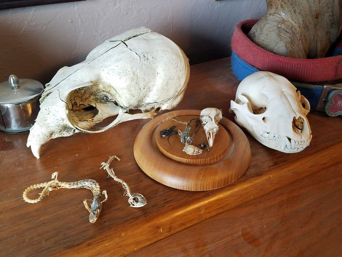 I Collect Animals Skulls That I Find, Never Kill