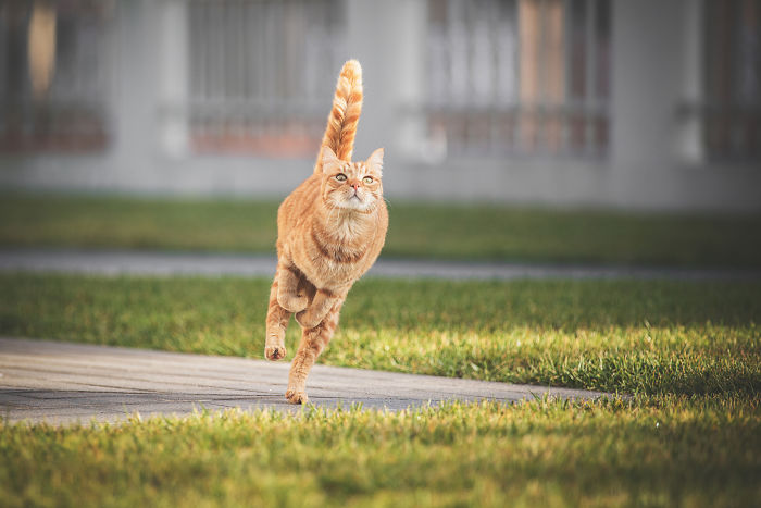 I Take Action Photos Of My Cat Ricky Playing In Our Yard And His Postures Are Incredible!
