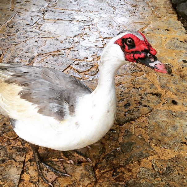 This Duck Looks Like Darth Maul