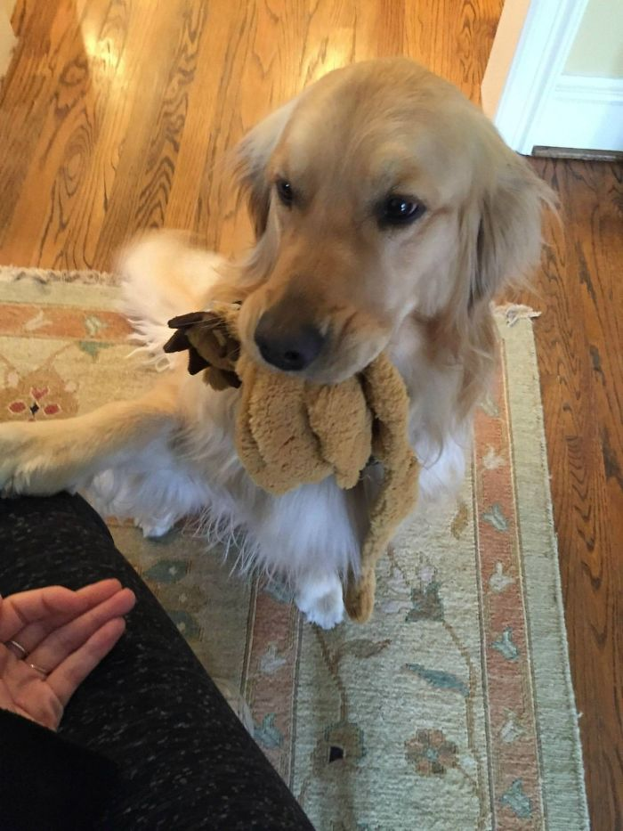 My Girlfriend's Golden Has To Bring A Gift To Anyone Who Comes To The Door. If She Can't Find A Toy, She'll Grab Her Whole Bed And Drag It Across The House Or Pick Up The Shoe You Just Took Off And Give It Back To You