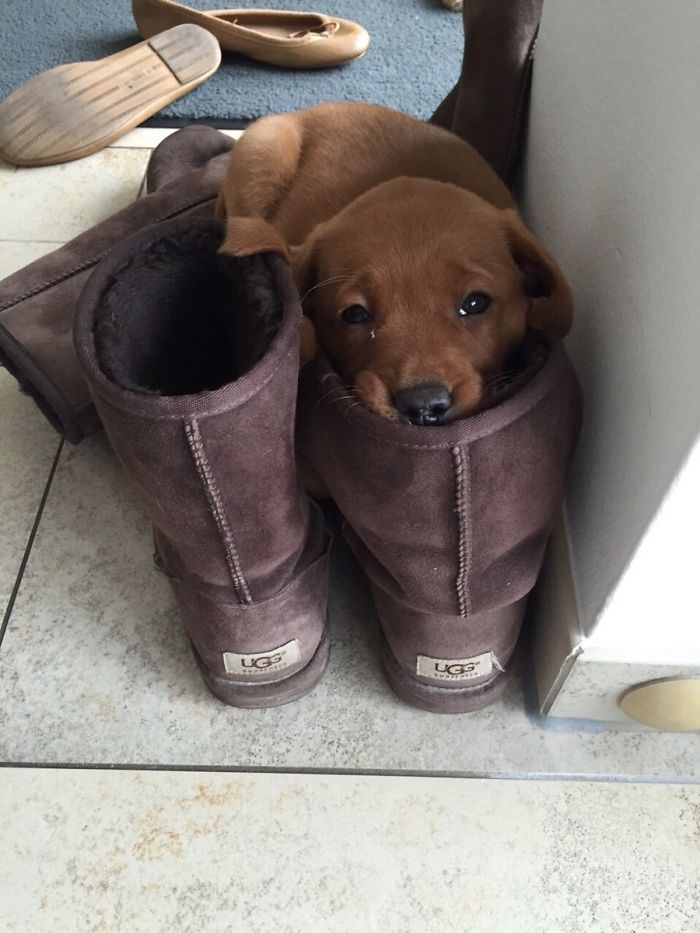 Lab Puppy Resting His Head On My Gfs Shoes