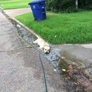 A Labrador Labradoing What A Labradog Labrado
