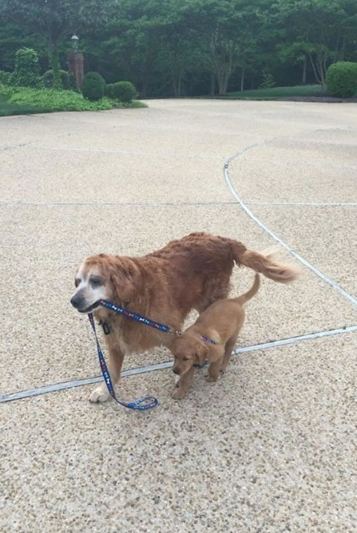 13 Year Old Golden, Taking The 8 Week Old Out For A Walk