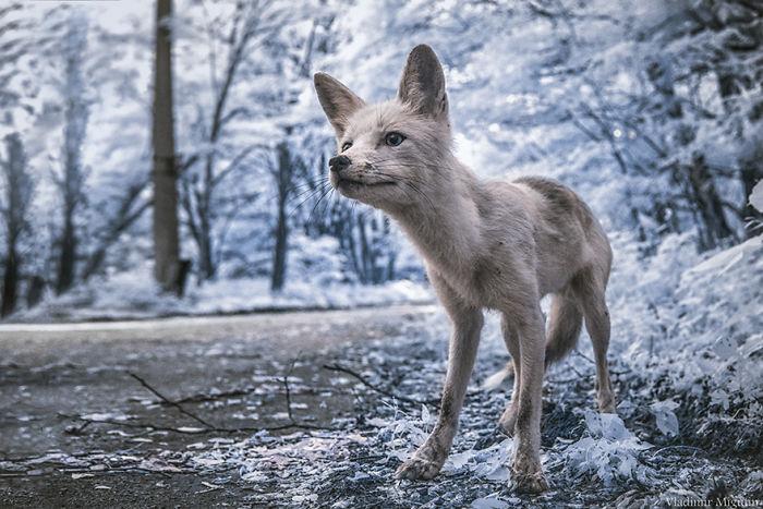 Simon, un amigable zorro que a menudo se acerca a los grupos visitantes de la zona de exclusión para pedir comida