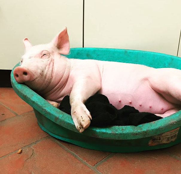 """Many People Asked This Shelter To Save Even More """"Farmed"""" Animals And This Is Their Rescued Little Pig Lino"""