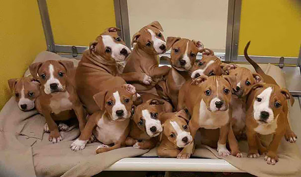 My Local Animal Shelter Just Got In A Litter Of Boxer Puppies