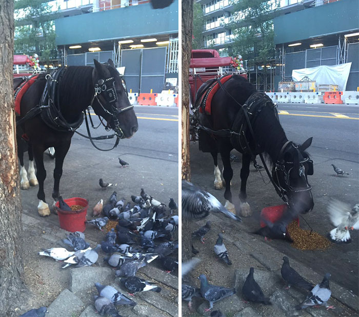 The Pigeons Were Crowding This Horse's Bucket So He Dumped Out Some Feed For Them