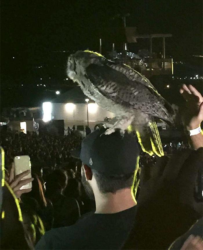 Este búho aterrizó sobre la cabeza de mi amigo en un concierto