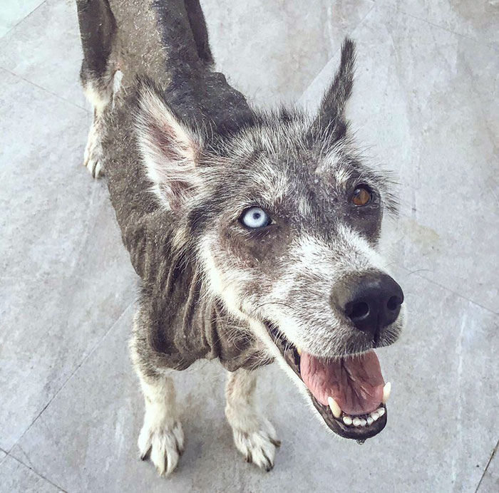 Rescued Husky Goes Through An Incredible Transformation In Just 8 Months And It's Hard To Believe It's The Same Dog