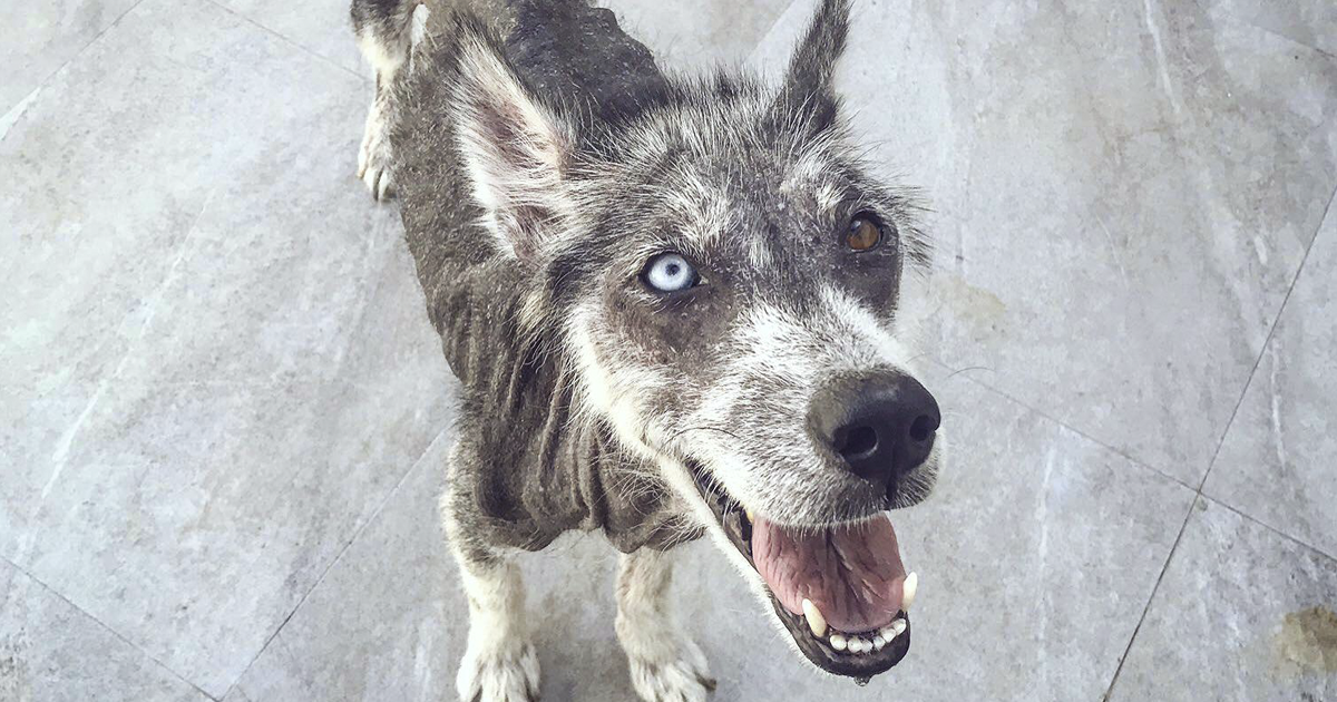 Husky Found In Terrible Condition Is Unrecognizable After 8 Months