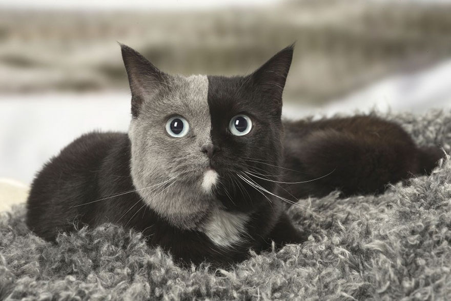 two-faced-cat-british-short-hair-france-