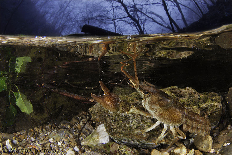 River Crayfish (Austropotamobius Pallipes) Photographed During A Rainstorm