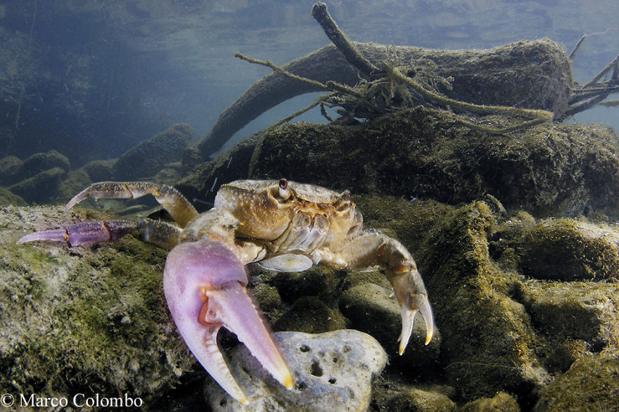 River Crab (Potamon Fluviatile) Female Showing Vivid Violet Colours