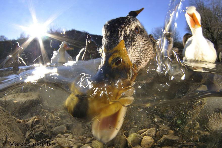 Mallards (Anas Platyrhynchos) Feeding In Shallow Water