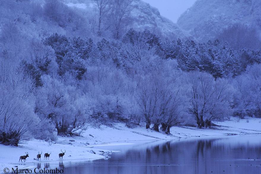 Red Deer (Cervus Elaphus) Walking At Dawn Nearby A Lake