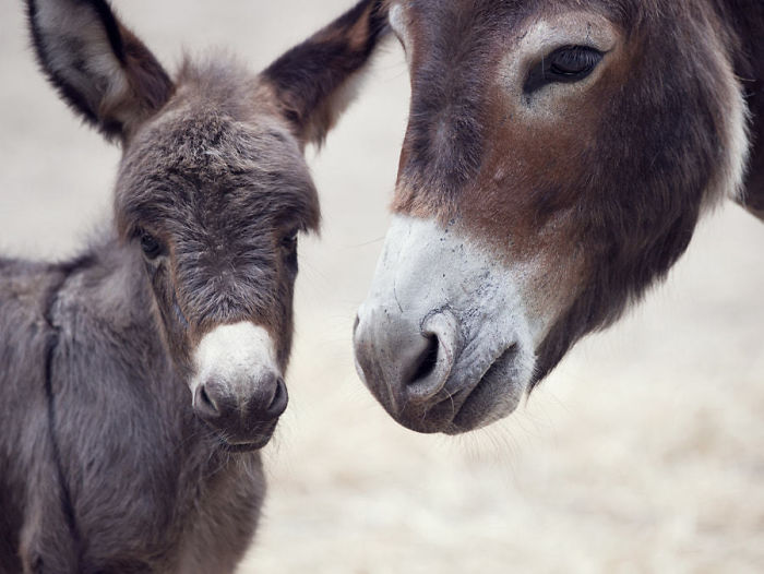 Baby Donkey Mule With Its Mother