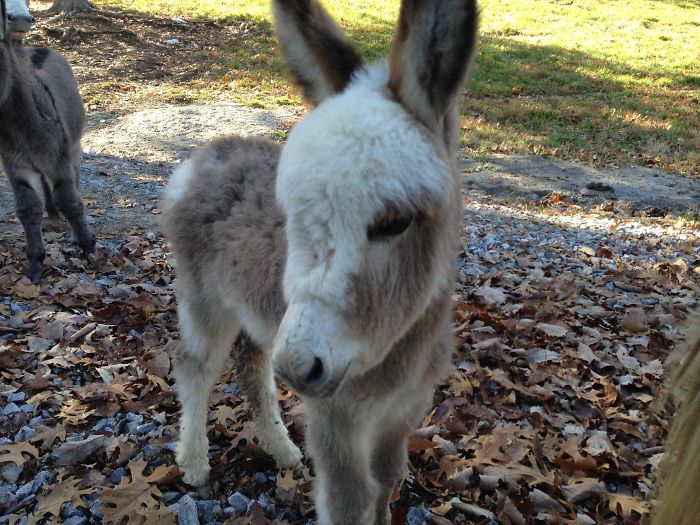 It's Not A Puppy Or A Kitten, But It Is Fluffy. Meet My New Baby Donkey Nelly