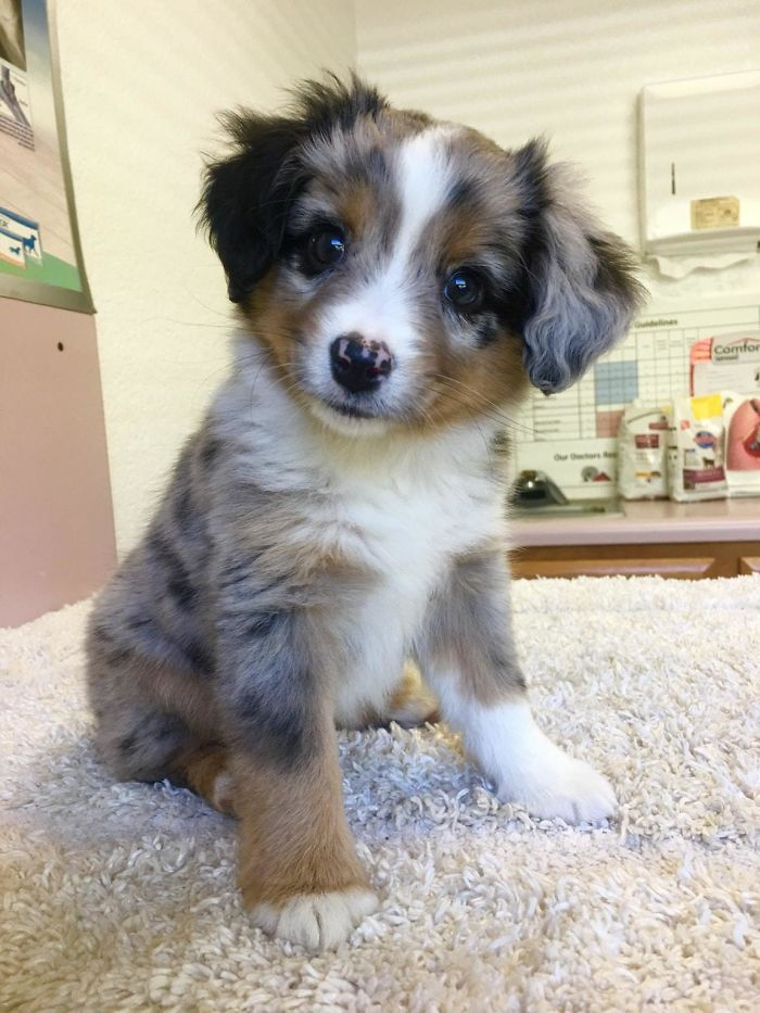 First Day With My Pupper. Meet Skye, The Mini Aussie!
