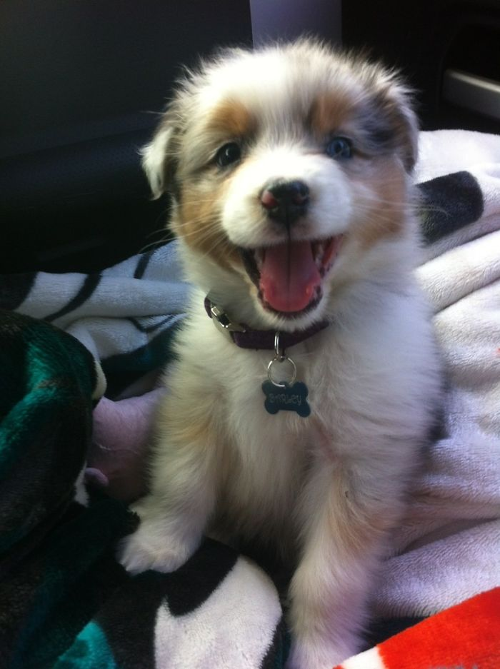 Aussie Shepard Is Excited To Come To His New Home